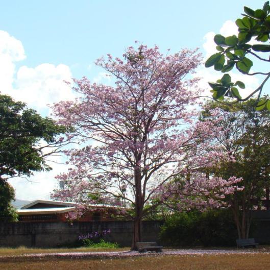 Poui Tree