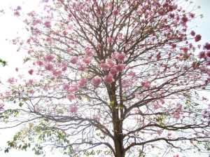 The Poui Tree, in full bloom